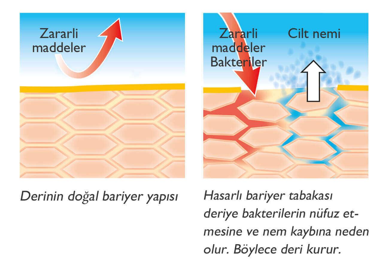 Cildin yapısı ve işlevi